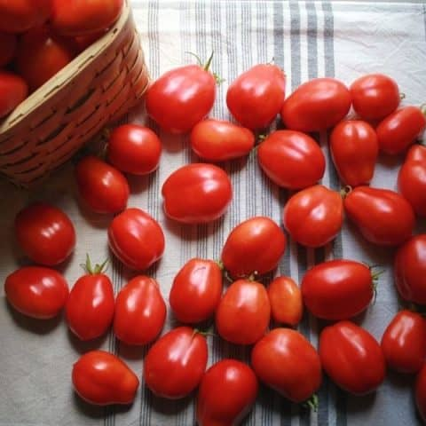 dozens of fresh tomatoes laid out on a dish towel